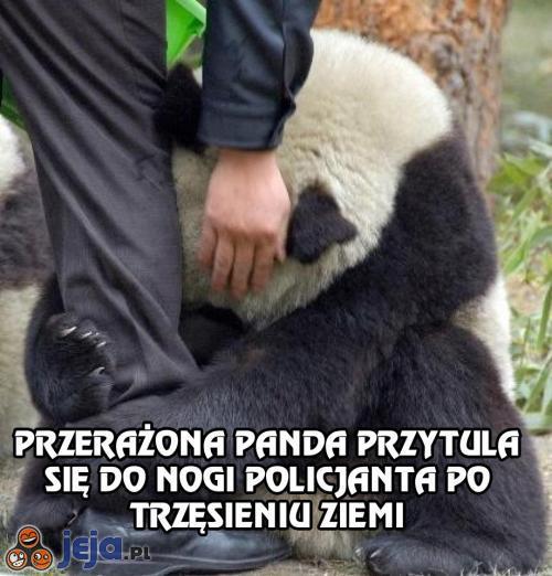 Przerażona panda przytula się po trzęsieniu ziemi