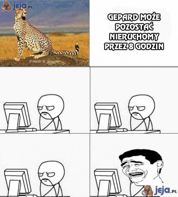 Gepard może pozostać nieruchomy przez 8 godzin
