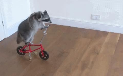 Przewiń dalej, to tylko szop pracz uczy się jazdy na rowerze