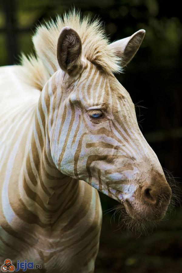 Złota zebra urodzona na Hawajach