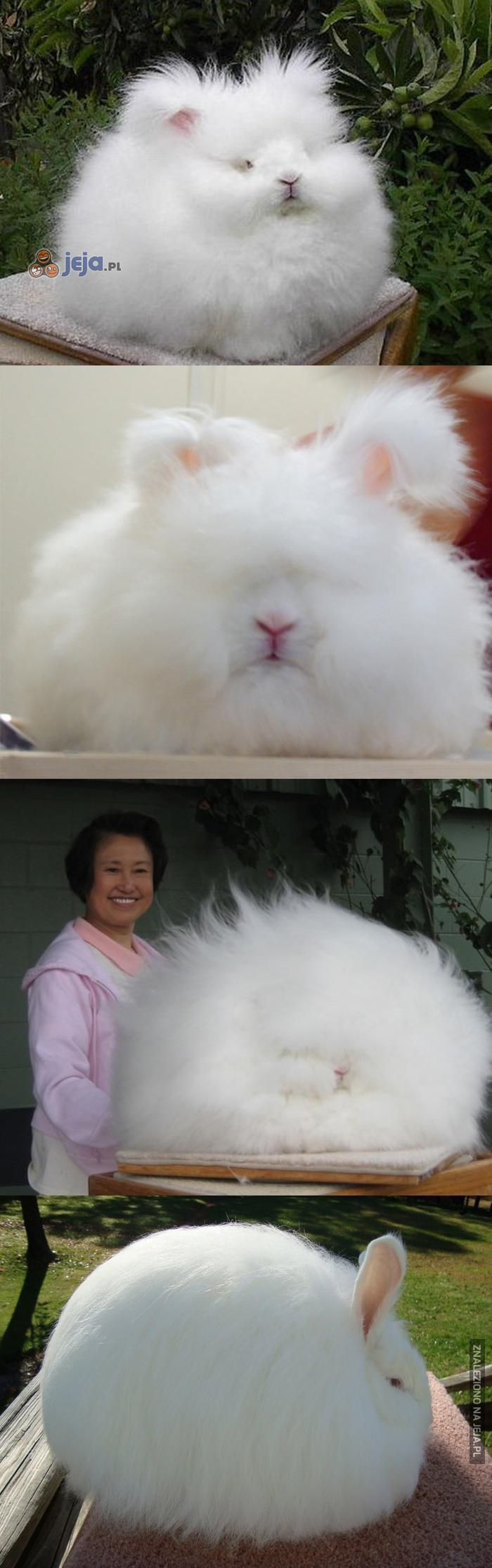 Najbardziej puchaty królik ever
