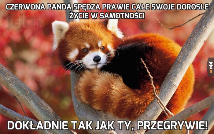 Czerwona panda spędza prawie całe swoje dorosłe życie w samotności