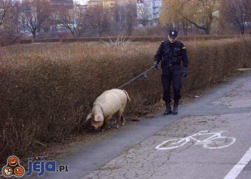 Świnka policyjna