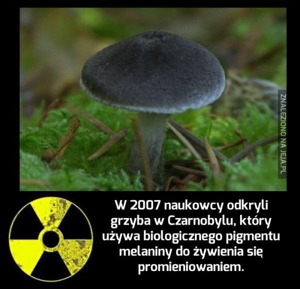 Radiotroficzny grzyb