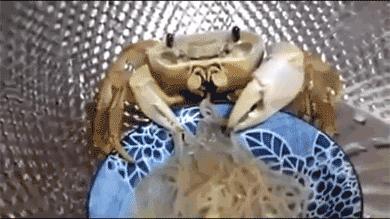 Taki tam krab, wcinający makaron