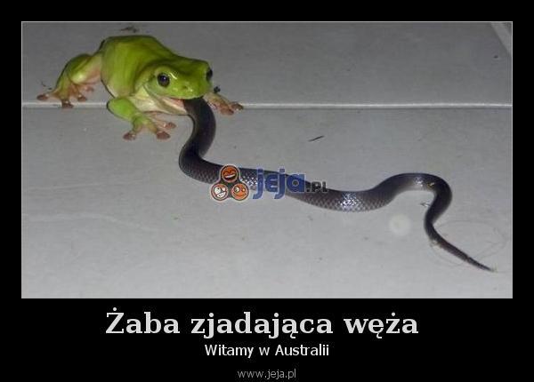 Żaba zjadająca węża