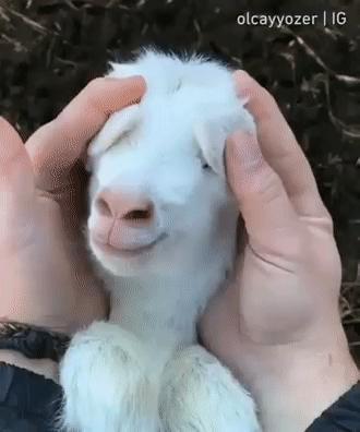 Twój dzień będzie lepszy dzięki tej uroczej kozie
