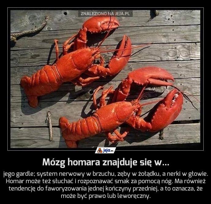 Mózg homara znajduje się w...