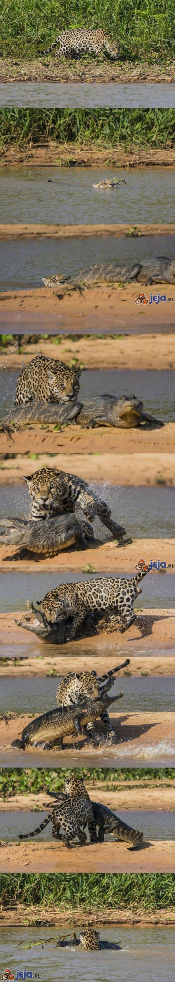 Jaguar, który nie zna litości