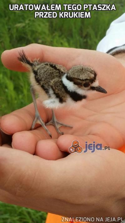 Uratowałem tego ptaszka przed krukiem