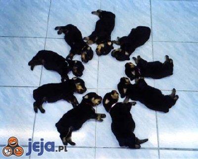 Gwiazda psów