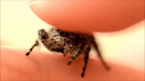 Głasku głasku pajączka