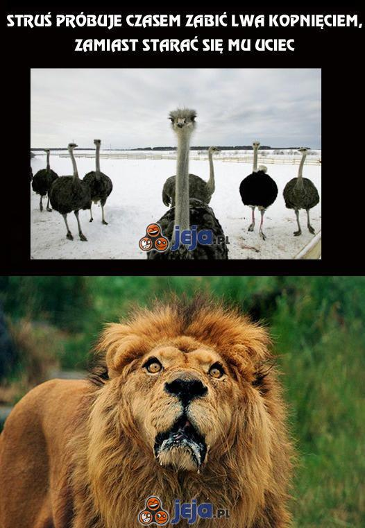 Struś próbuje czasem zabić lwa kopnięciem