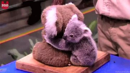 Dwie koale