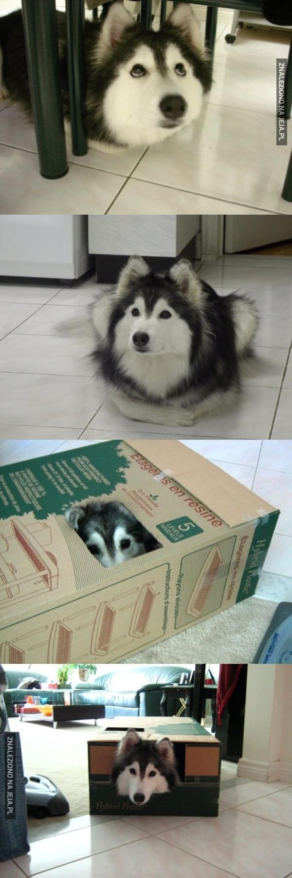 Husky wychowany przez koty