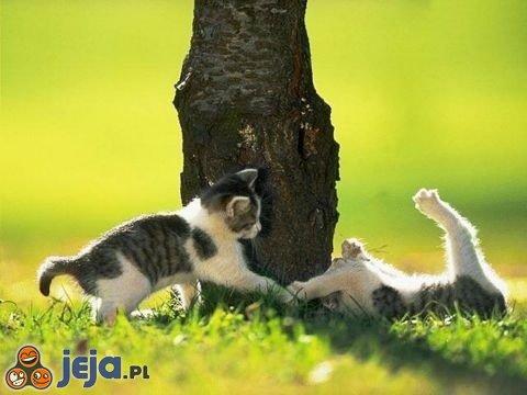 Kocia potyczka
