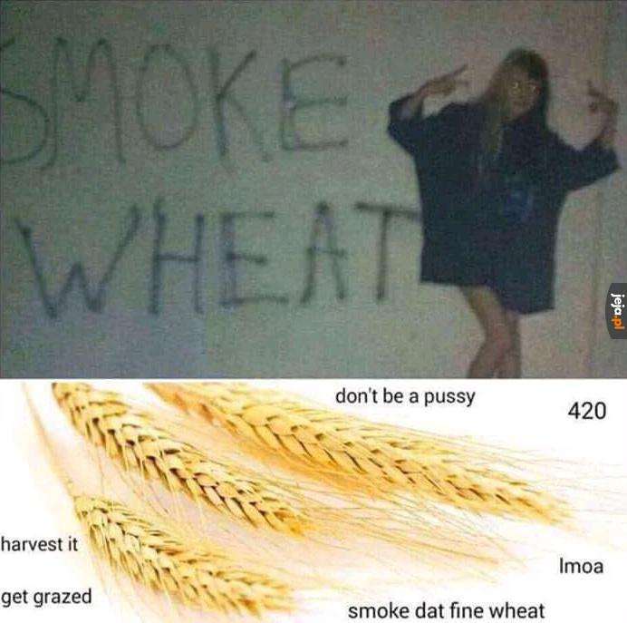 Wheat - pszenica
