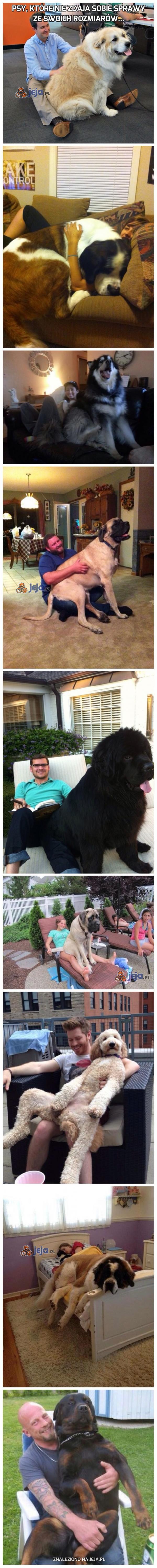 Psy, które nie zdają sobie sprawy ze swoich rozmiarów...