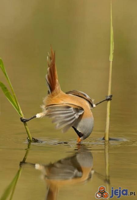 Ptaszek akrobata