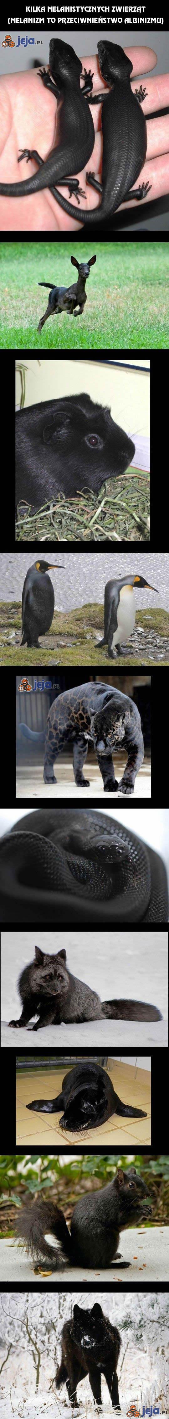 Kilka melanistycznych zwierząt