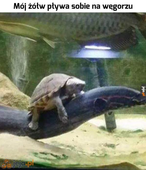 A czy Twój żółw pływa sobie na węgorzu?