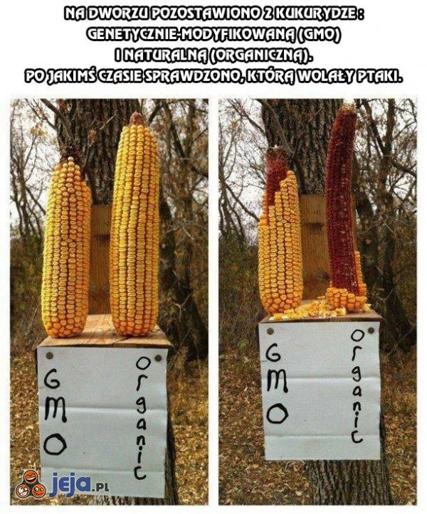 2 kukurydze - którą wolały ptaki?