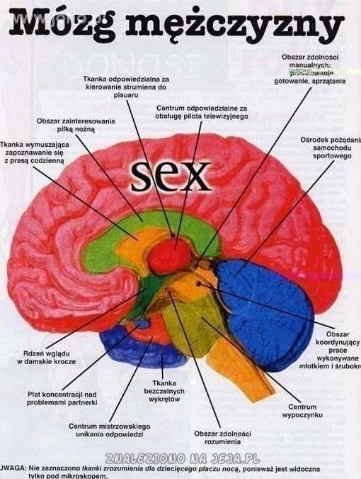 Budowa mózgu mężczyzny