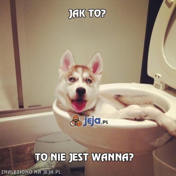Zaskoczony pies Husky