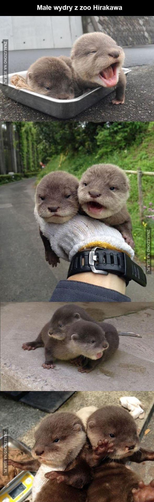 Dwie urocze wydry