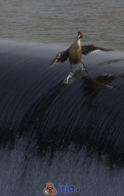 Surfująca kaczka