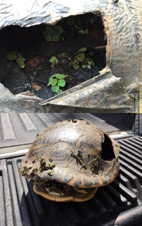 W dziurawej skorupie żółwia rosną rośliny