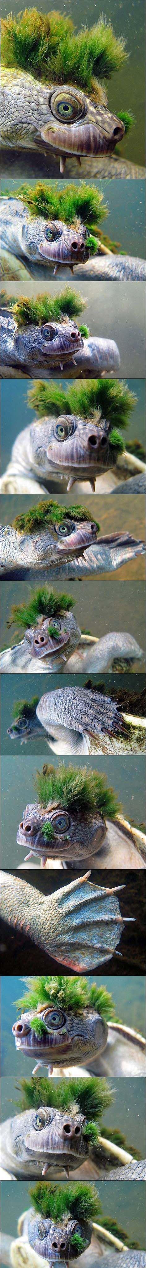 Punk żółw