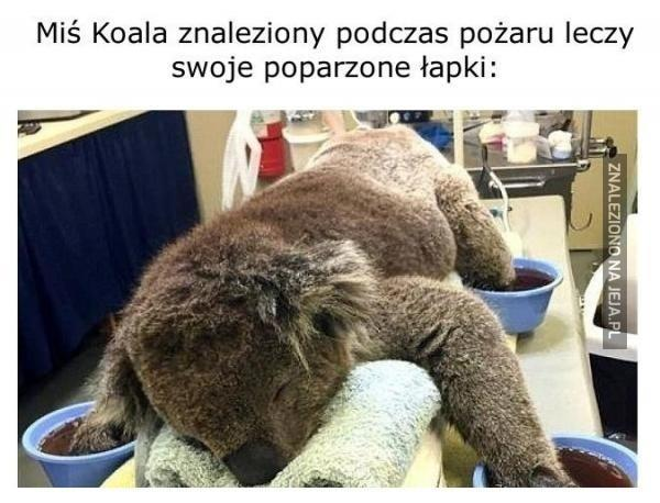 Miś Koala znaleziony podczas pożaru leczy swoje poparzone łapki
