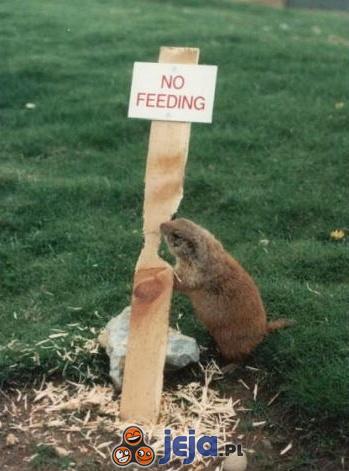 Nie karmić bobrów