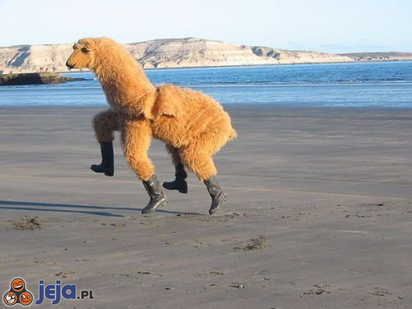 Wesoła lama nad morzem