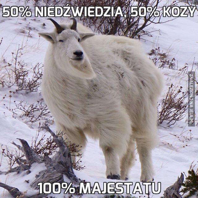 50% niedźwiedzia, 50% kozy