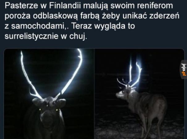 Fińskie renifery