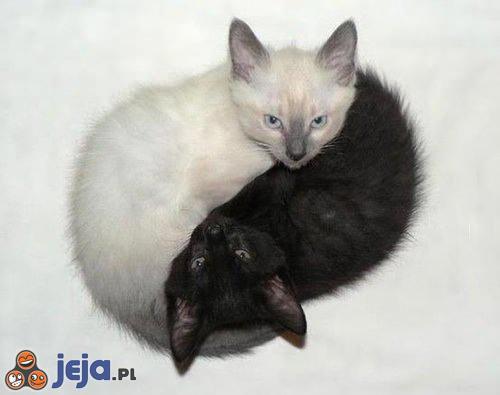 Yin-Yang w wykonaniu kotów