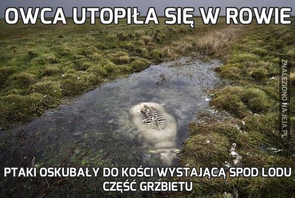 Owca utopiła się w rowie