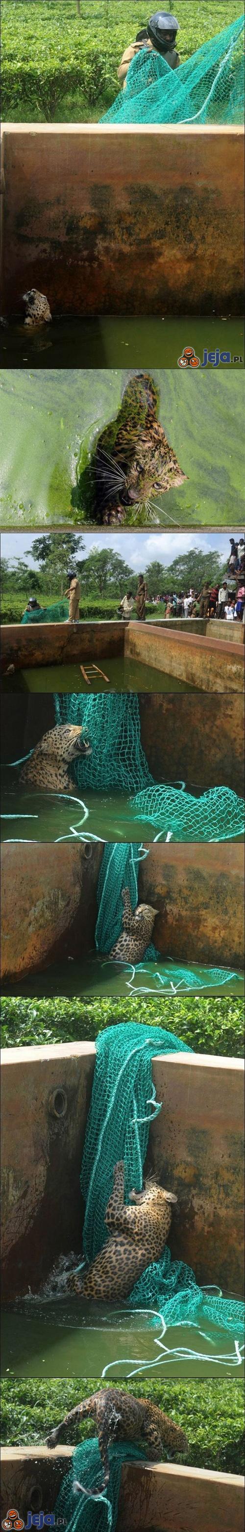Ratowanie leoparda