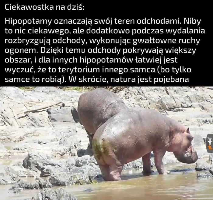 Ciekawostka o hipopotamach