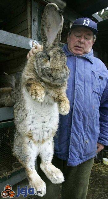 Wielki królik