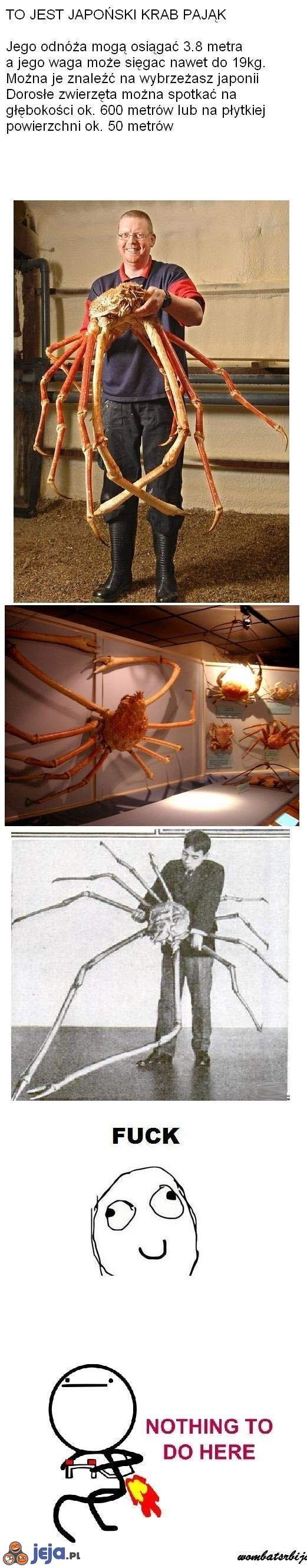 Krab pająk