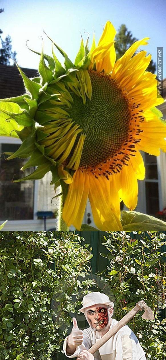 Dziwnie rośnie ten słonecznik