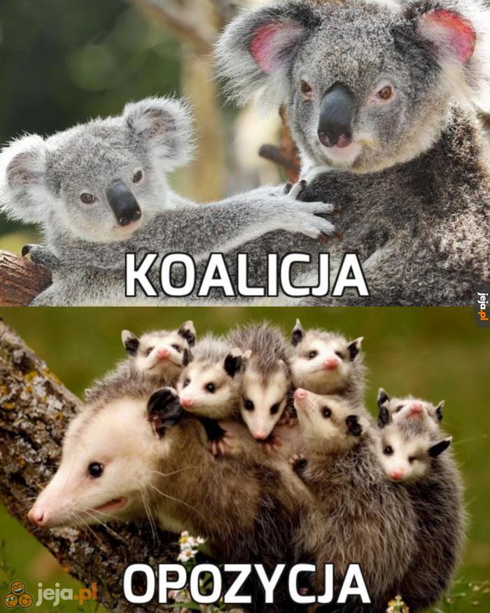 Ciekawostka: koale to nie misie, a torbacze