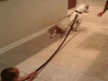 Pies pociągowy