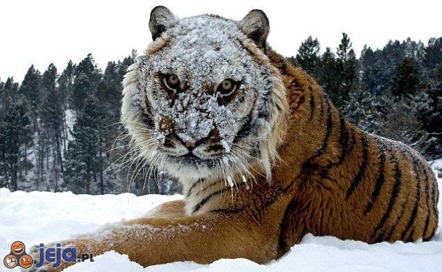 Zawsze chciałem być tygrysem syberyjskim