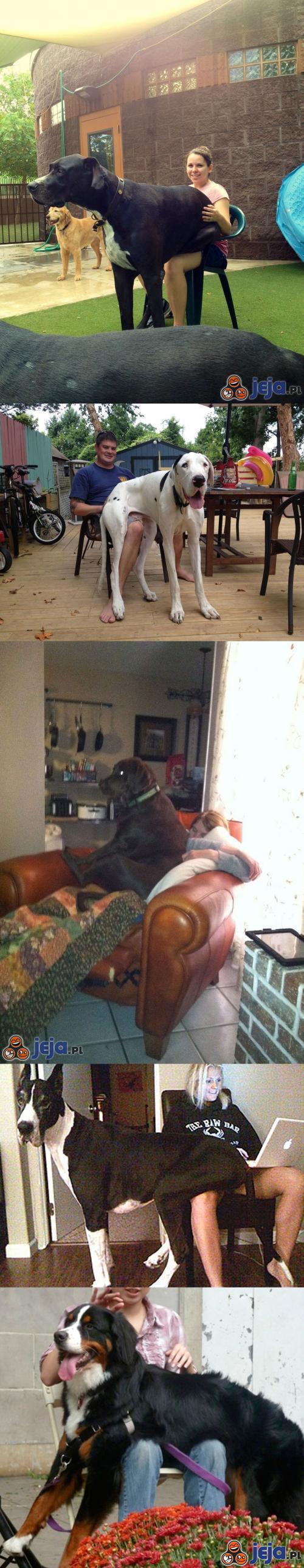 Duże psy też lubią siadać na kolanku