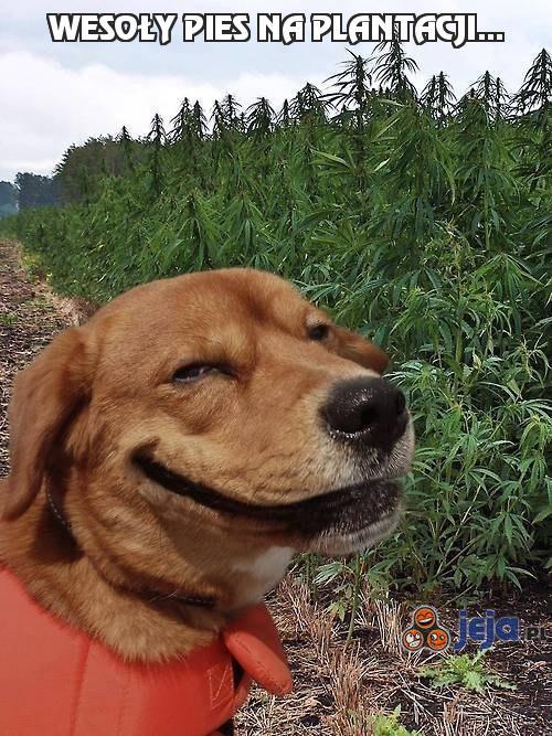 Wesoły pies na plantacji...