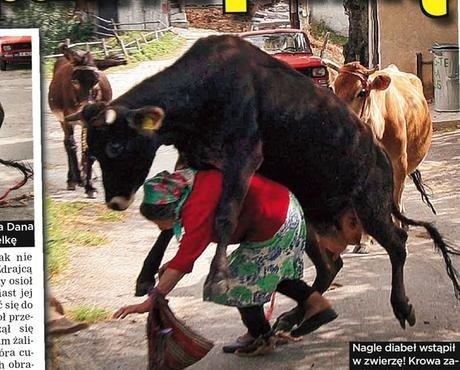 Wściekła krowa